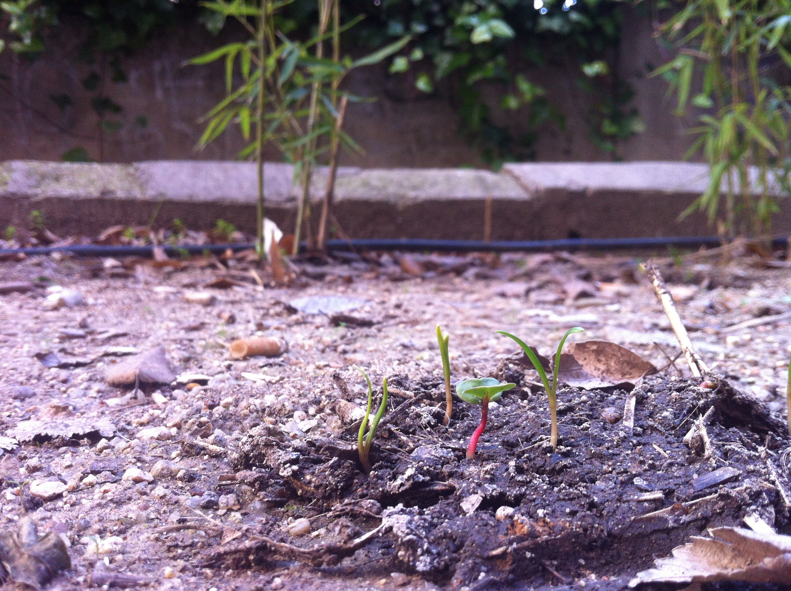 Guerilla Gardening - Espincasa nacidas y rabanito 2