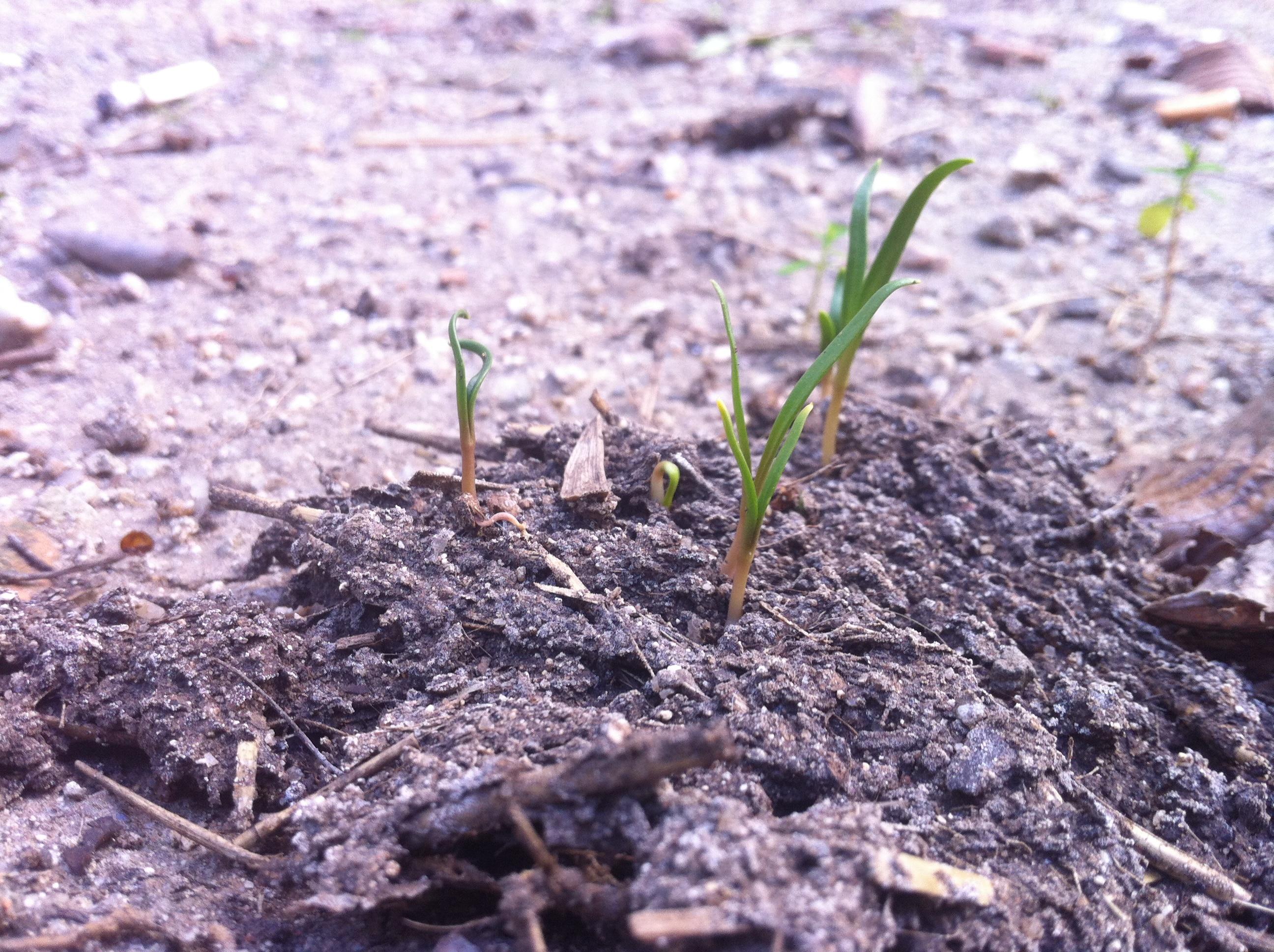 Guerilla Gardening - Espincasa nacidas