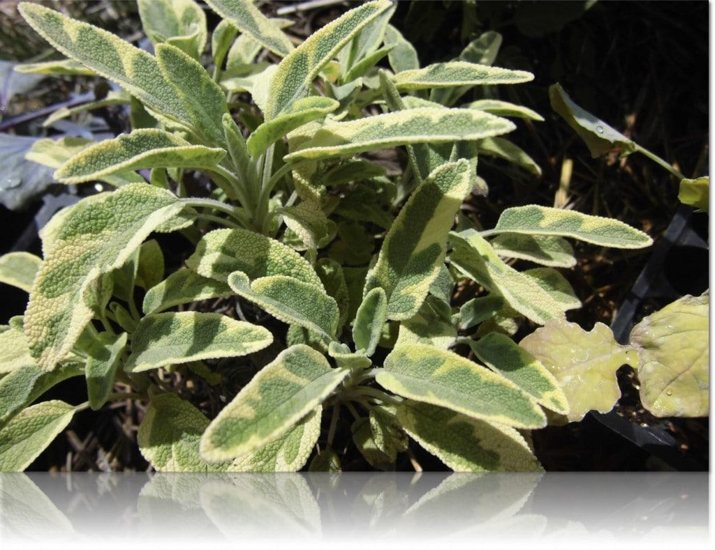 Salvia ecologica