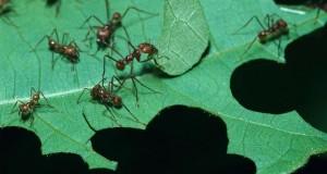 Hormigas cortando hoja