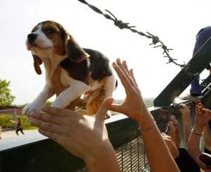 beagles salvados de experimentacion